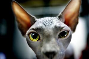 kattenshow-anp