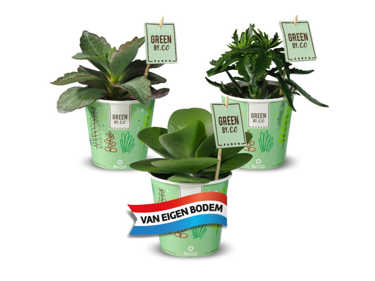 vetplantje bredase aanbiedingen