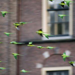Halsbandparkieten Binnenhof Den Haag