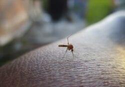 muggen in gouda