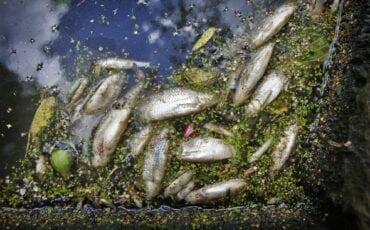 dode vissen gouda
