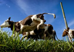Koeiendans koeien buiten stal