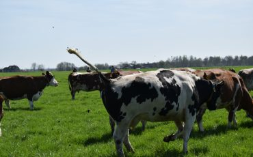 Koeiendans Beekhoeve