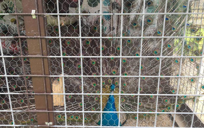 Pauw Kukele-boe Woerden Brediuspark ophokplicht