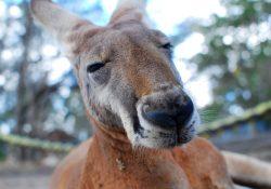 kangoeroe-op-spoor